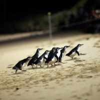 phillip island penguin parade