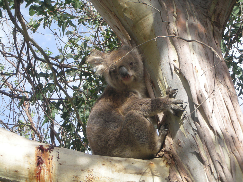 Koala up in a tree on the great ocean road