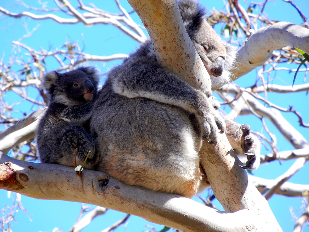 Koala on mums back